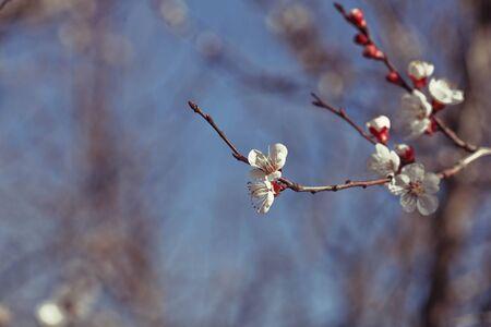brisk: brisk white Japanese plum