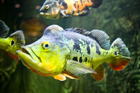 freshwater fish: Fish (Orinoco Peacock Bass, cychla ocellaris ) in the glass cabinet.
