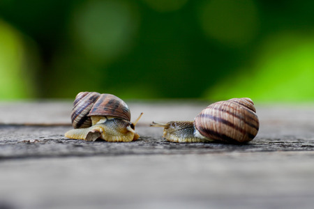 Snail couple. Snail love analogy.Concept of love Stock Photo