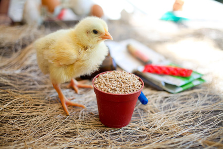 Chicken near a forage, at a background medicine for cultivation. Antibiotics, vaccination and testing on animals concept. Stock Photo
