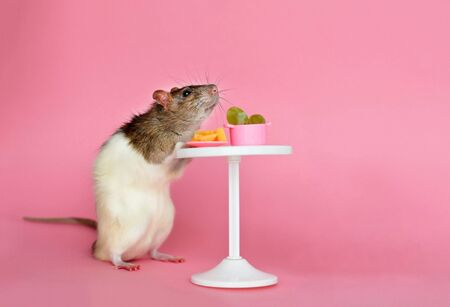 The homemade decorative rat is black white eating cheese and grapes at the table against a pink background.Symbol of 2020 on the Chinese calendar. Copy space