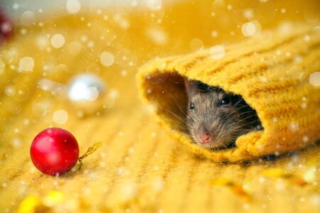 The face of a brown rat looks up the sleeve of a knitted yellow sweater, with red New Year s balls lying nearby. Year of rat. Symbol of 2020 on the Chinese calendar. Stok Fotoğraf