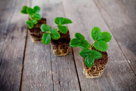 Three strawberry seedlings with root on wooden background. Stock fotó