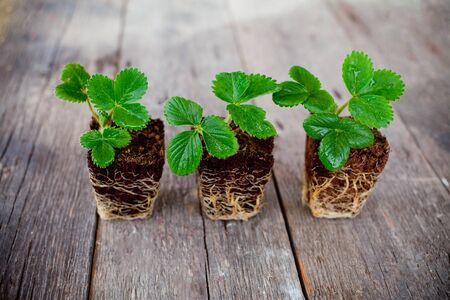Three diagonal strawberry seedlings with root on wooden background. Side view, copy space