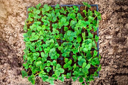 Strawberry seedlings  of the earth.
