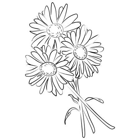 camomile flower: illustration of an ink sketch of camomile flower