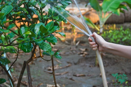 Asian woman is watering the plants photo