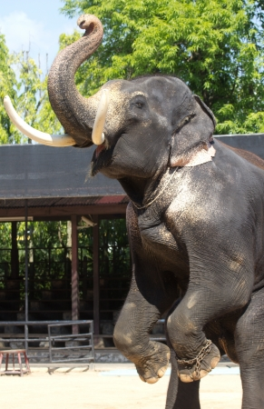 Die Schönheit der thailändischen Elefanten haben Stoßzähne Standard-Bild - 13492172