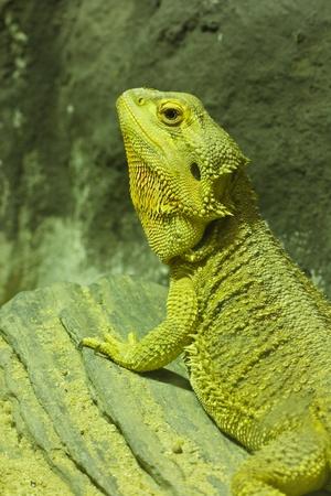 disdain: El camale�n marr�n, iguana en la granja Foto de archivo