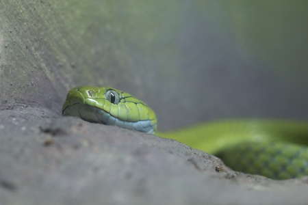 The green snake is toxic Stock Photo - 13923237