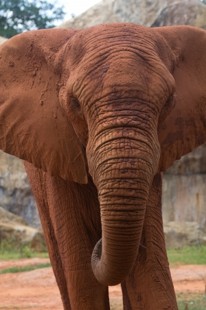 The face of the African elephant is big photo