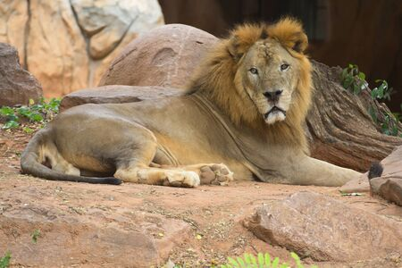 formidable: Lion is a fierce and formidable beasts Stock Photo