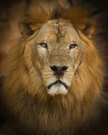feroz: Le�o � feroz e formid�vel animais Banco de Imagens