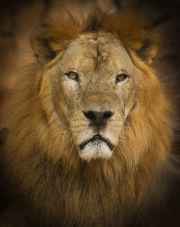 Lion is a fierce and formidable beasts Stock Photo