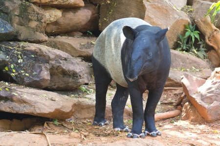 Malayan tapir animal emotions are resting comfortably