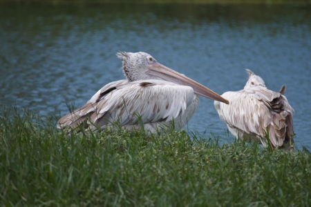Two brown pelicans standing by the pool photo