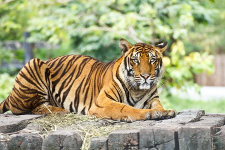 tiger eyes: Portrait of a Royal Bengal tiger alert and staring at the camera