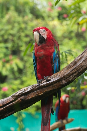 Scarlet macaws bird perched on a tree photo