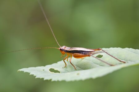 The red grasshopper perched on a green leaf photo