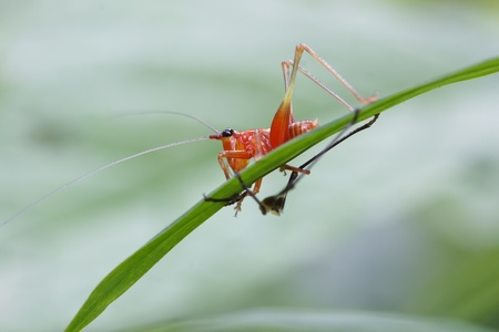 The red grasshopper perched on a green leaf Stock Photo - 16261799