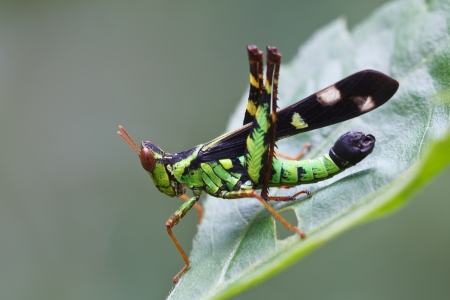 The green grasshopper perched on a green leaf Stock Photo - 16261803