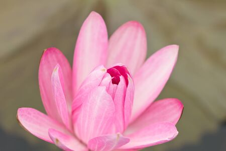 Beautiful blooming lotus patterns and bright colors photo