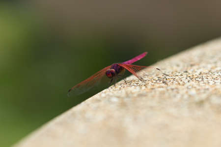 trithemis: Large red dragonfly island rocky edge Stock Photo