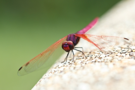 Large red dragonfly island rocky edge photo