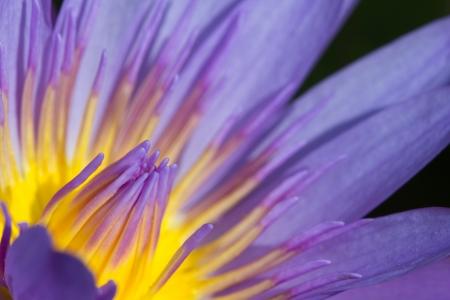 purple lotus in the dark, macro shot Stock Photo