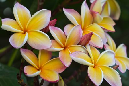 white and yellow frangipani flowers with leaves in background Stock Photo - 16752362