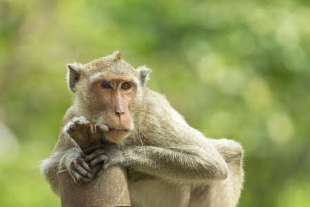 Close-up of a Common Squirrel Monkey Stock Photo - 17456243