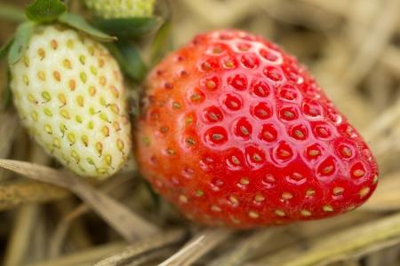 Fresh organic strawberries closeup shot photo