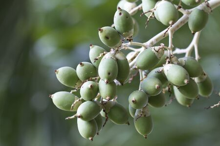 betel palm fruit photo