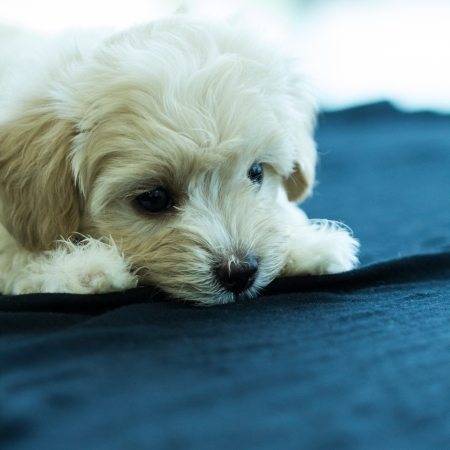 Cute Poodle Puppy Stock Photo