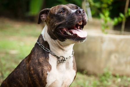 mans best friend: Face of Pitbull dog in background Stock Photo