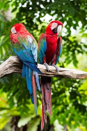 Blue-and-red macaw[Ara ararauna] sitting on log