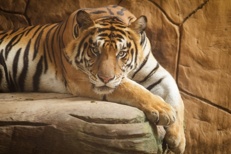 Picture of a tiger lying on a rock. Zdjęcie Seryjne
