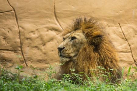 Lions are carnivorous and ferocious animals. photo