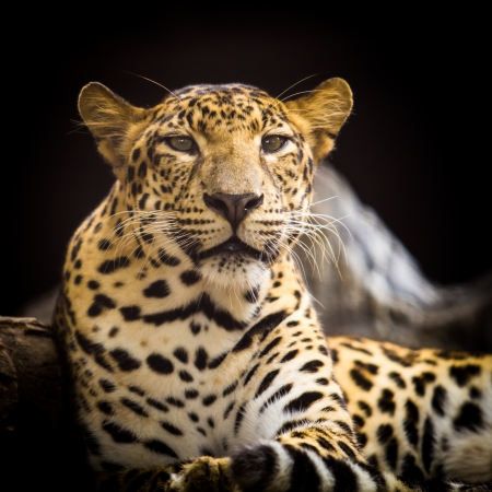 Portrait of leopard was lying on a black background. photo