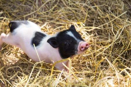 Junge Ferkel auf Heu und Stroh auf Schweinezucht Bauernhof Standard-Bild - 22844445