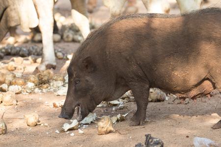 Boar feeding on the ground  photo