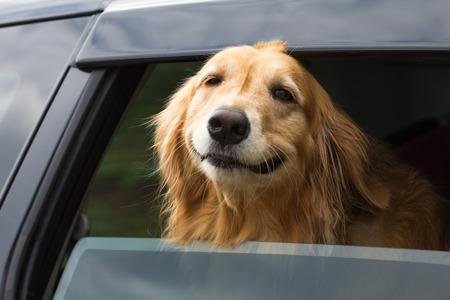 perros graciosos: Raza Golden Retriever Río presentada fuera de la ventanilla del coche. Foto de archivo