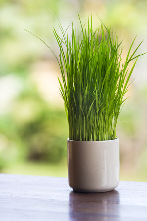 Wheatgrass growing in a white vase decorated tableware.
