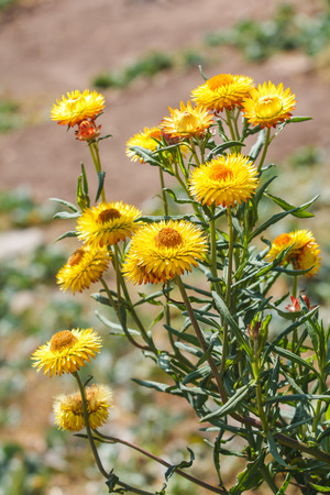 Dry straw flower or everlasting ,Helichrysum bracteatum photo
