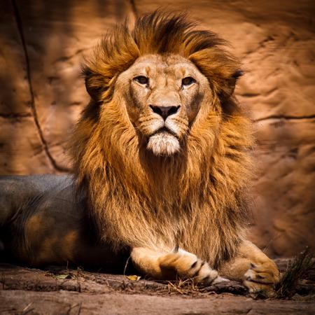 Bild von einem Löwen in die Kamera schaut. Standard-Bild