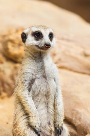 suricate: cute Meerkat or Suricate sitting on sand Stock Photo