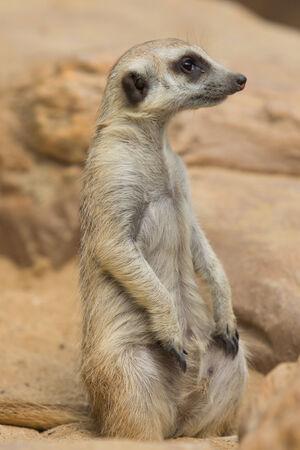 cute Meerkat or Suricate sitting on sand photo