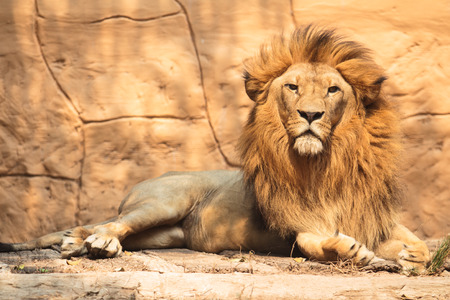Portrait lion looking something in the outside Stock Photo