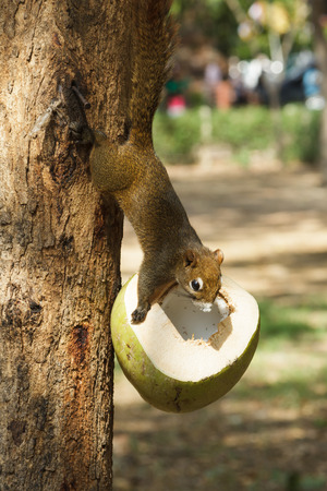 Squirrels climb trees and eating the coconut photo