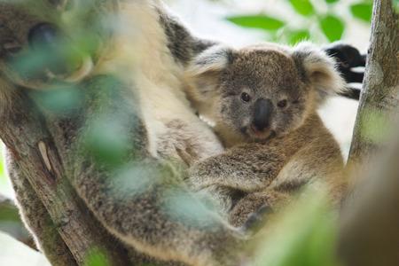 Close up cute Koala on the tree photo